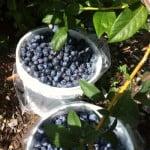 Blueberries for Kate