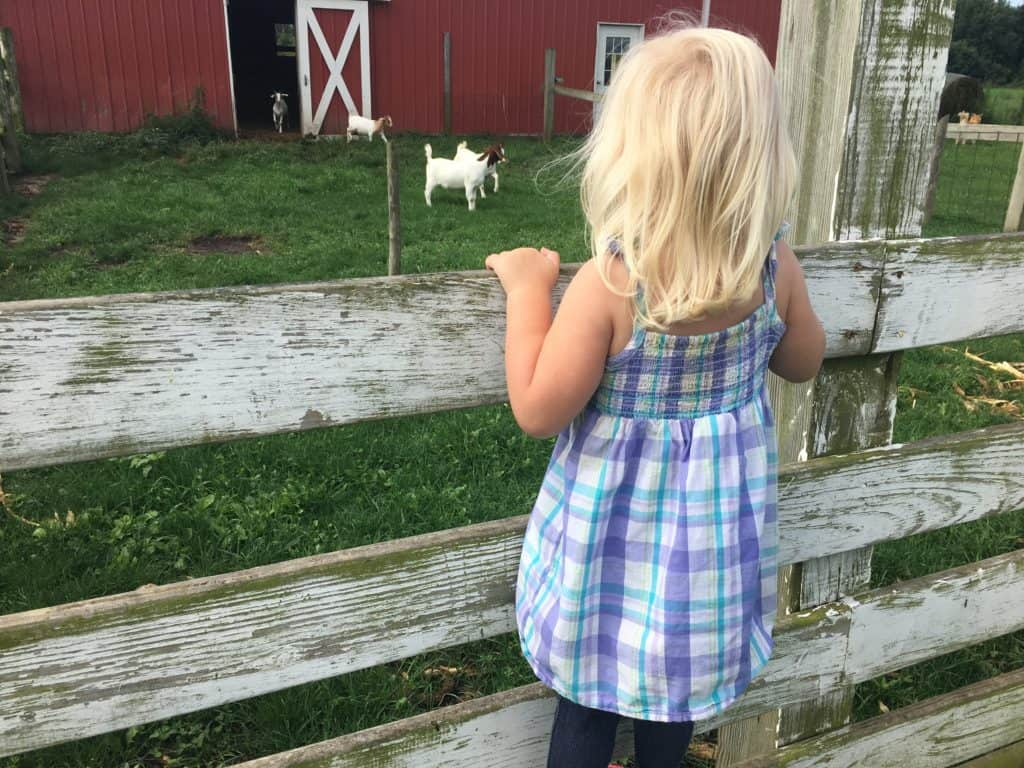 Little girl looking at goats
