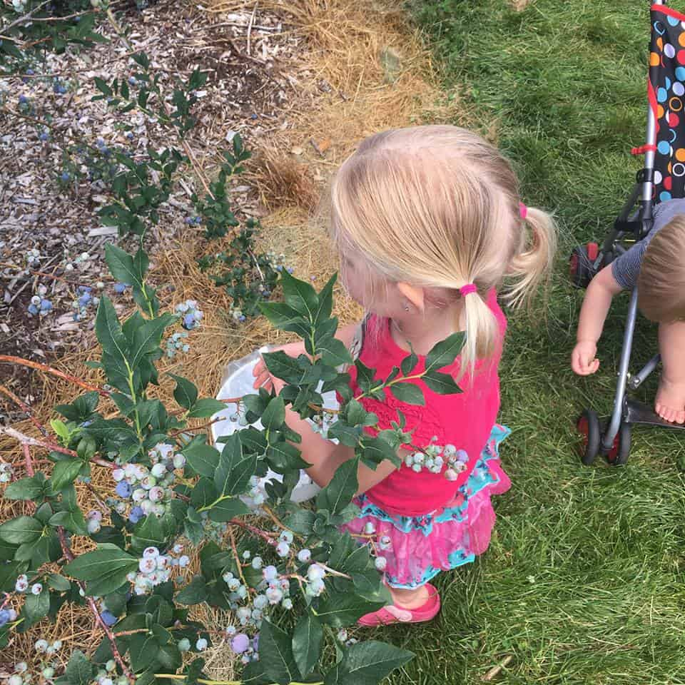 layla blueberry picking